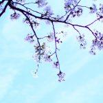 横浜 元町 厳島神社 桜