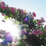 横浜は薔薇の街